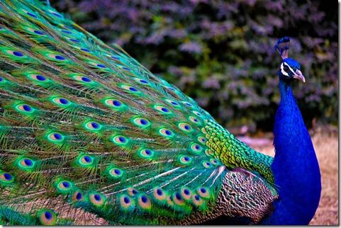 pavao-azul-cauda-verde